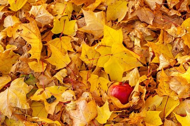 Pomme solitaire sur un fond de feuilles d'érable automne coloré