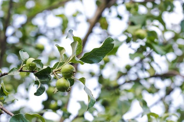Une pomme verte sur une branche de pommier contre un espace de copie de fond de ciel bleu