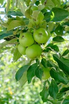 Pomme verte fraîche sur l'arbre, arrière-plan flou.