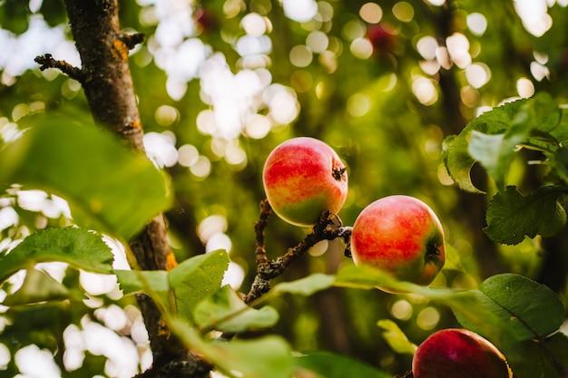 Une pomme verte et pourrie sur une branche. photo de haute qualité
