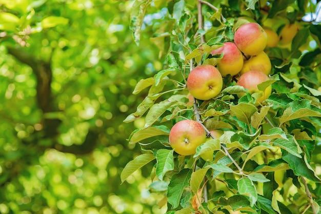 Pommes sur un arbre dans le jardin