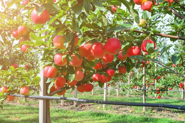 Pommes biologiques, mûres et juteuses sur les branches des arbres dans le jardin