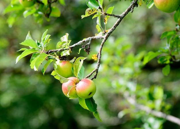 Pommes sur une branche