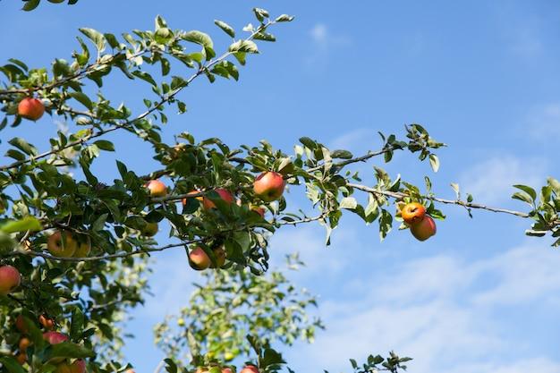 Pommes dans un pommier en été