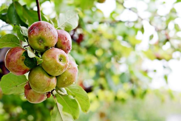 Pommes fraîches mûres sur une branche avec feuillage.