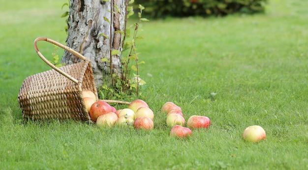 Pommes sur l'herbe