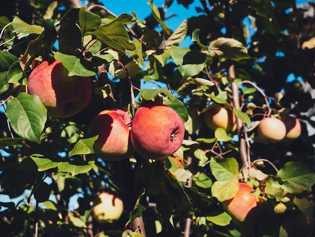 Pommes de jardin mûres sur un gros plan de branche verte.