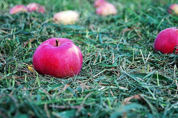 Pommes de jardin rouges sur l'herbe coupée verte