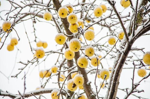 Pommes jaunes sur un arbre dans la neige en hiver