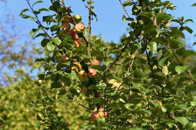 Pommes mûres sur un arbre en automne