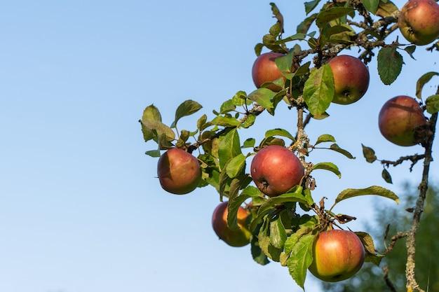 Pommes mûres biologiques suspendues à une branche d'arbre dans un verger de pommiers devant un ciel bleu clair. gros plan stock photo