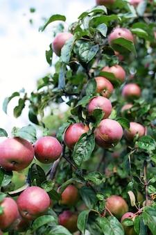 Pommes mûres fraîches sur l'arbre dans le jardin d'été. récolte de pommes