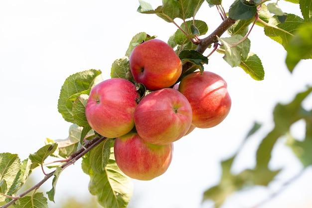 Pommes mûres rouges sur un arbre par temps ensoleillé