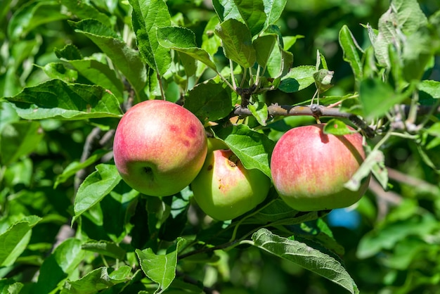 Les pommes mûres rouges poussent sur une branche parmi le feuillage vert
