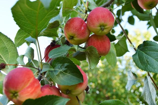 Pommes mûres rouges suspendus sur une branche de pommiers contre le ciel dans le jardin