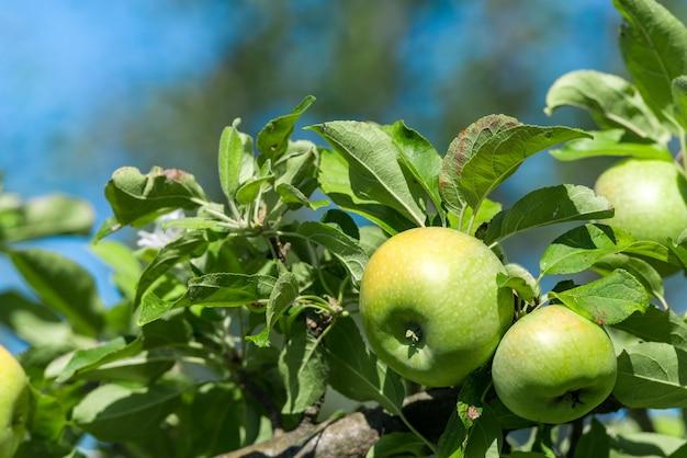 Les pommes mûres vertes poussent sur une branche parmi le feuillage vert