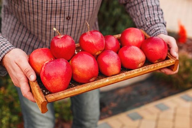Pommes rouges biologiques mûres fraîches dans une boîte en bois dans des mains masculines. récolte d'automne de pommes rouges pour la nourriture ou le jus de pomme sur fond de jardin. récolte des fruits. la nourriture saine.