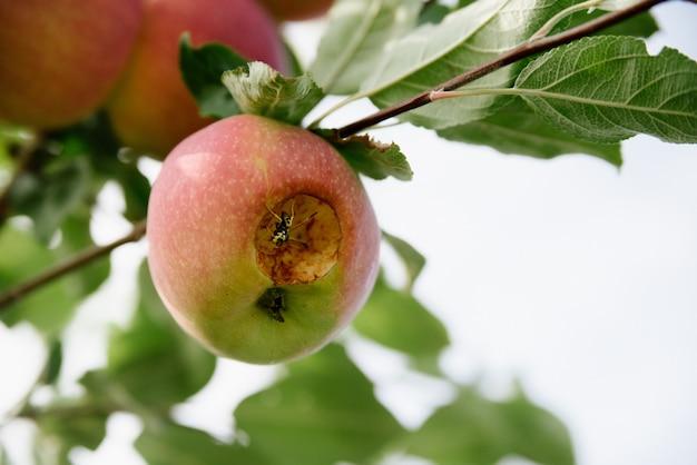 Pommes rouges sur une branche