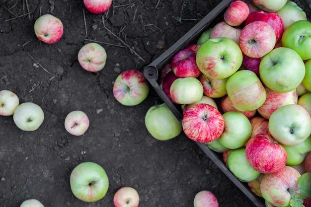 Des pommes rouges, jaunes et vertes viennent d'être cueillies dans un verger. les pommes sont dans une caisse en plastique sur le sol. récolte des pommes. vue de dessus