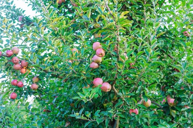Pommes rouges mûres sur arbre pomme rouge sur un arbre