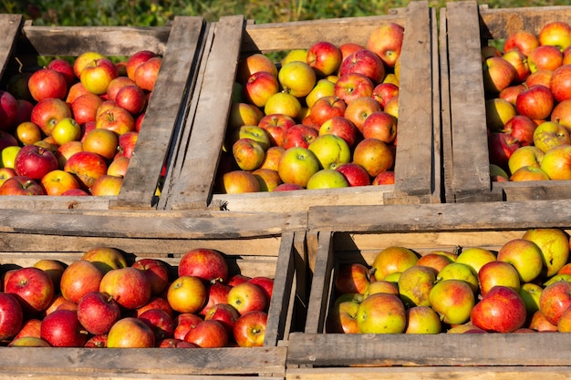 Pommes rouges mûres dans de grandes boîtes en bois pendant la journée de cueillette des fruits.