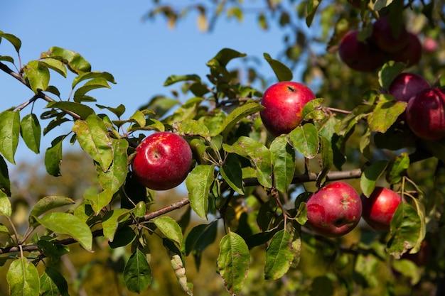 Pommes rouges mûres et juteuses suspendues sur un arbre