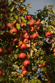 Pommes rouges mûrissant sur des branches d'arbres dans le jardin