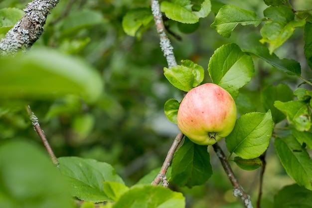 Les pommes rouges poussent sur une branche parmi le feuillage vert. pommes biologiques suspendues à une branche d'arbre dans un verger de pommiers.