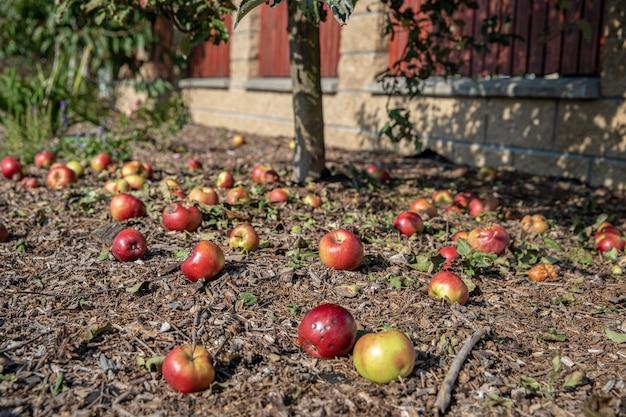 Les pommes rouges sont tombées de l'arbre sur le sol dans le jardin