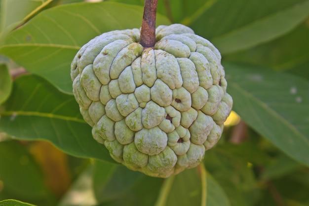 Pommes sucrées qui poussent sur un arbre dans le jardin