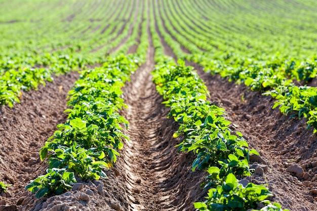 Pommes de terre sur un champ agricole