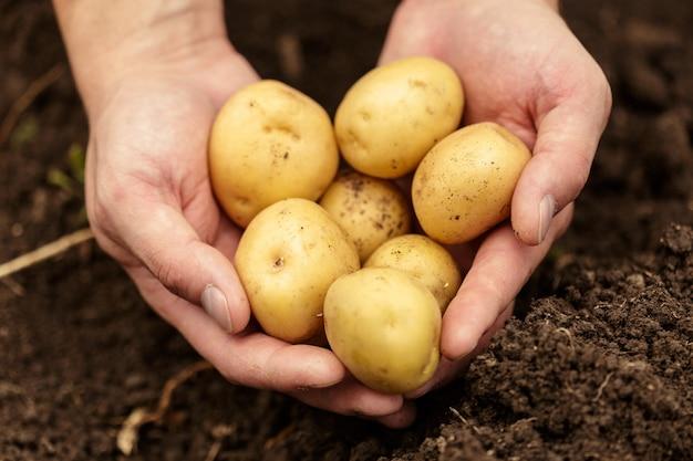 Pommes de terre dans les mains sur le sol