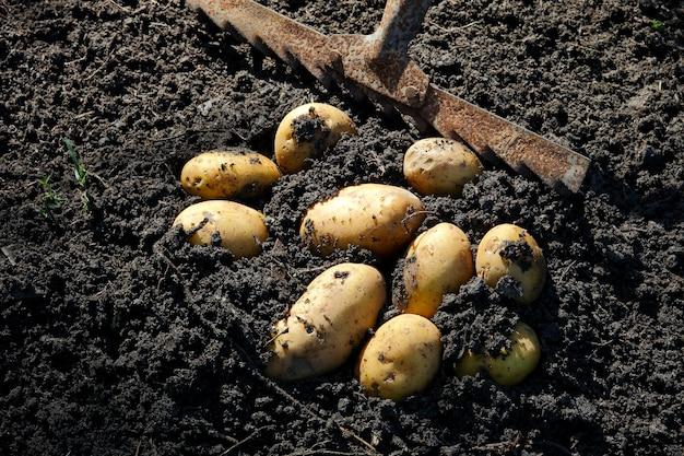 Pommes de terre nouvellement récoltées dans le sol