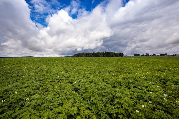 Pommes de terre poussant sur un champ agricole. mise au point au centre de la prise de vue
