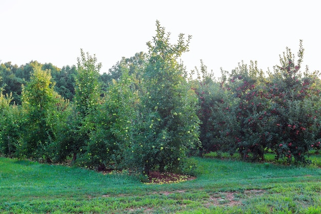 Pommes vertes sur un arbre pomme sur arbre