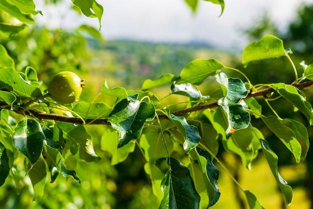 Pommes vertes sur l'arbre. savsat, artvin - turquie