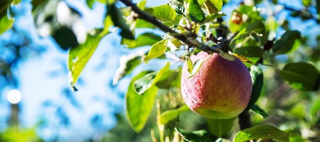 Pommes vertes sur une branche de pommier dans le jardin.nature