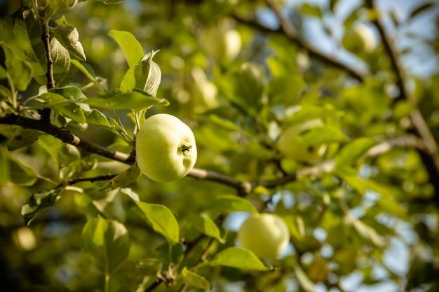 Pommes vertes sur une branche prête à être récoltée. pomme savoureuse mûre sur l'arbre en journée d'été ensoleillée.