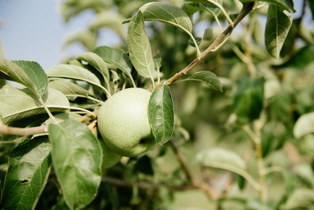 Pommes vertes sur une branche
