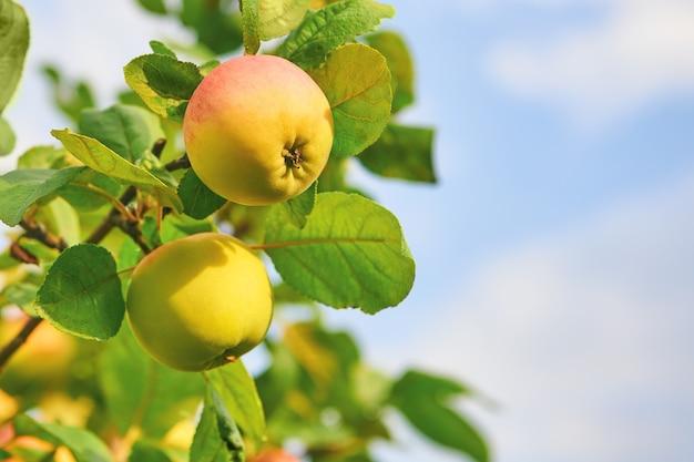 Pommes vertes jaunâtres sur un arbre. récolte de pommes fraîches dans le jardin en journée ensoleillée.