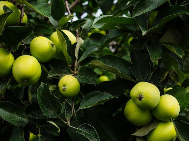 Pommes vertes mûres sur une branche dans le jardin. pommes juteuses cultivées à la maison.