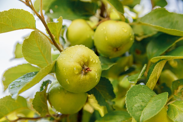 Pommes vertes parfaites poussant sur un arbre dans un verger de pommiers biologiques