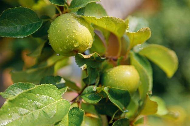 Pommes vertes parfaites poussant sur l'arbre en pomme biologique sur jardin de style campagnard