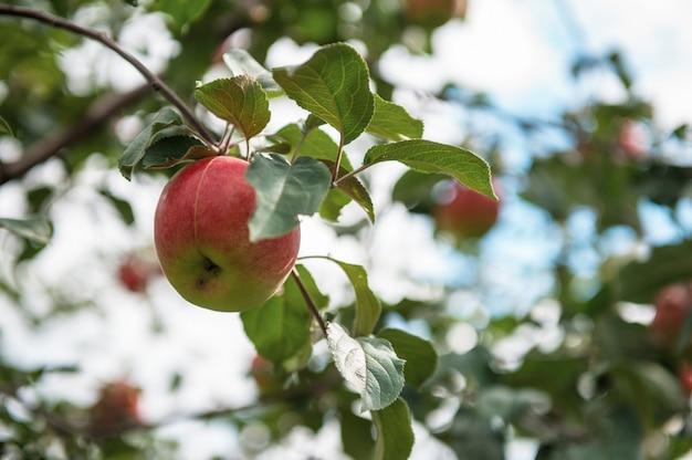 Pommier aux pommes