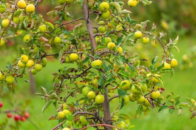 Pommier avant récolte, zone agricole. alaverdi, kakhétie