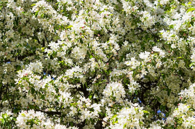 Pommier blanc en fleurs. ciel bleu.