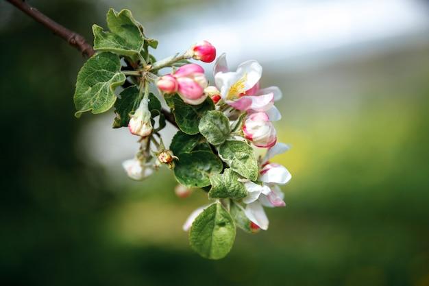 Pommier en fleurs au printemps jardin ou parc fleuri