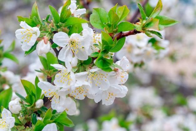 Pommier en fleurs au printemps