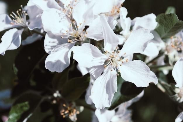 Pommier en fleurs; belles fleurs blanches, champ peu profond
