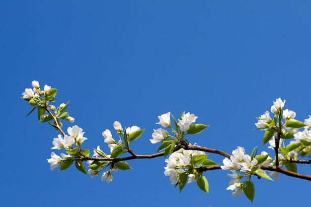 Pommier en fleurs contre le ciel bleu